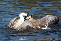 Chinese Goose - Anser cygnoides