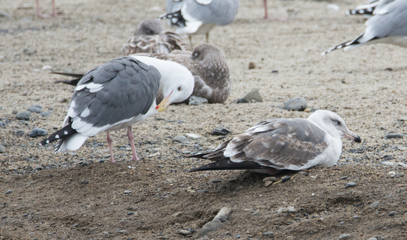 Western Gull - Larus occidentalis  ( Winter Adult (l) and 2nd Winter (r))