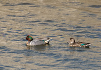 Green-winged Teal - Anas crecca