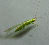 Green lacewing - Family chrysopidae