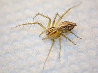 Striped lynx spider - Oxyopes salticus