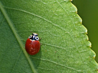 Western blood-red lady beetle - Cycloneda polita