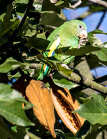 White-winged Parakeet - Brotogeris versicolurus