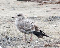 California Gull - Larus californicus (1st Wiinter)