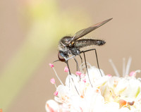 Bee fly - Geron sp