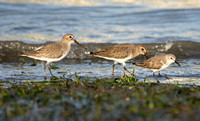 Dunlin - Calidris alpina and Western Sandpiper - Calidris mauri